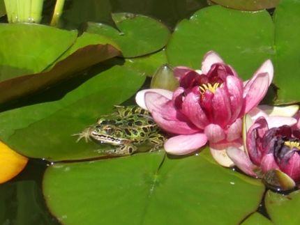 lotusne